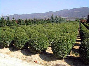Vivai di pistoia piante e fiori a pistoia for Piante da frutto pistoia